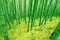 竹林 - panoramio - mahlervv.jpg