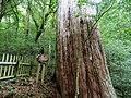 紅檜 Chamaecyparis formosensis - panoramio (1).jpg
