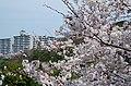 美加の台にて 2014.4.01 - panoramio (1).jpg