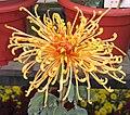 菊花-金不凋 Chrysanthemum morifolium 'Golden & Non-Withering' -中山小欖菊花會 Xiaolan Chrysanthemum Show, China- (12084957335).jpg