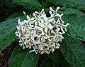 薄葉龍船花 Ixora finlaysoniana -新加坡植物園 Singapore Botanic Gardens- (15347341318).jpg
