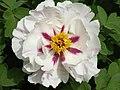 西北牡丹-雪蓮 Paeonia papaveracea 'Snow Lotus' -洛陽西苑公園 Luoyang, China- (12537607784).jpg
