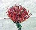 針墊花 Leucospermum cordifolium -香港花展 Hong Kong Flower Show- (9207641682).jpg