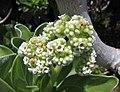 銀毛樹(白水木) Heliotropium foertherianum (Argusia argentea) -沖繩萬座毛 Okinawa- (9582992250).jpg