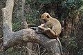 马鞍山森林公园 猴山 正在吃红薯的小猴 - panoramio.jpg