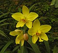 黃花苞舌蘭 Spathoglottis affinis -泰國清邁花展 Royal Flora Ratchaphruek, Thailand- (9216125190).jpg