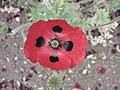 點瓣罌粟 Papaver commutatum Ladybird -牛津大學植物園 Oxford Botanic Garden- (9204858357).jpg