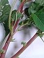 .முள்ளுக்கீரை-(Amaranthus spinosus ) 1.jpg
