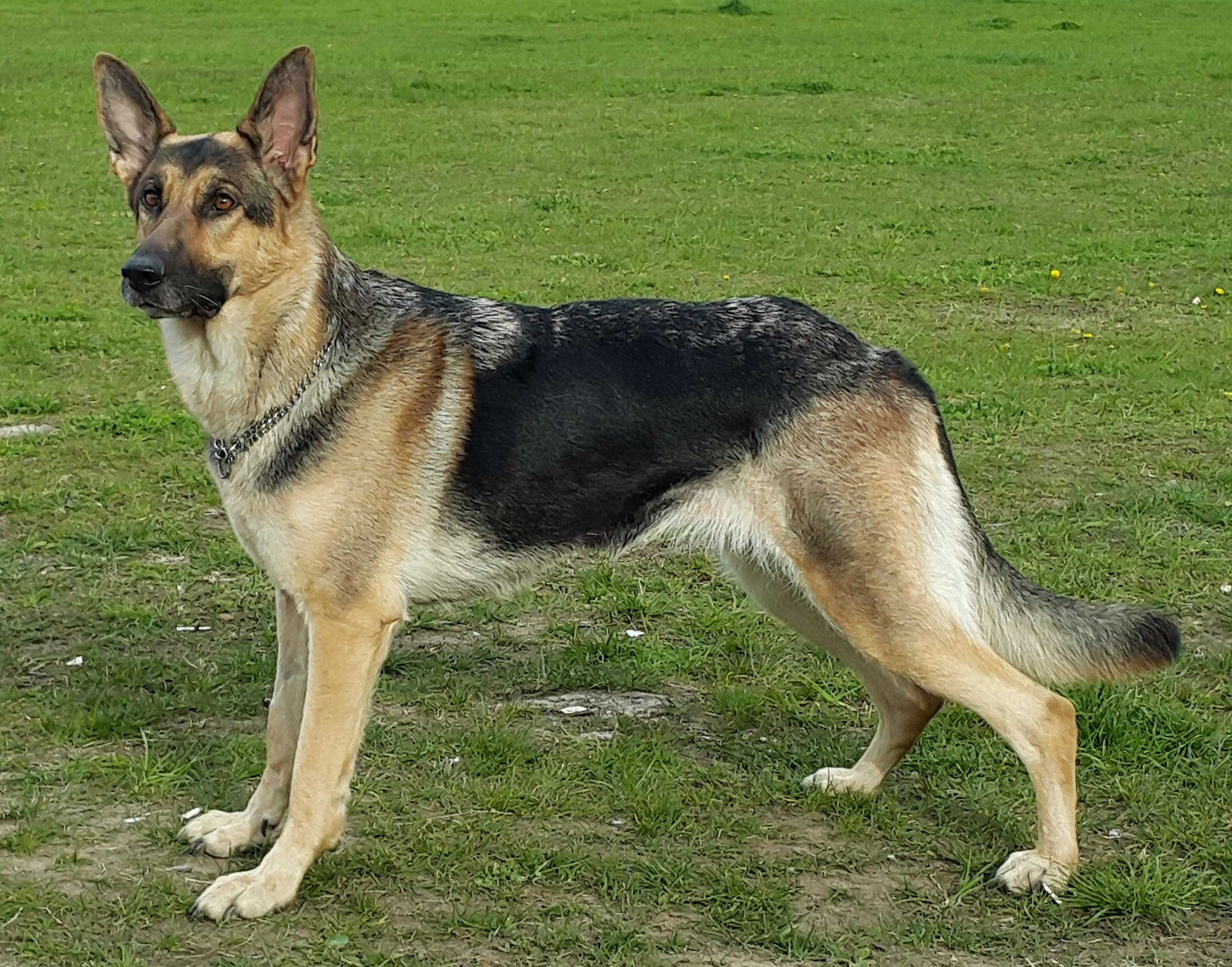 14ee10904 German Shepherd - The complete information and online sale with free ...