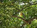 02922jfAverrhoa Tree Fruits carambolafvf 01.JPG