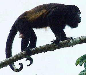 Mantled howler - Mature male showing prehensile tail and white scrotum