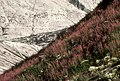 063 fireweed on slope resize (21851945298).jpg