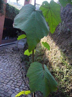 Lienzo de Quauhquechollan - Canak, or hands tree Chiranthodendron pentadactylon. Its leaves are used in certain tamales. It has medicinal properties. It is mentioned on the Lienzo de Quauhquechollan.