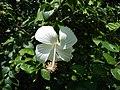 09335jfHibiscus cultivarfvf 06.JPG