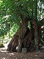 1000-Jährige Linde in Collm (1).jpg
