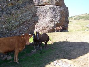 Campoo - Cattle and horse livestock on Campurrian pastures.