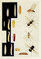12-Indian-Insect-Life - Harold Maxwell-Lefroy - Acalyptrate-muscoids.jpg