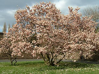 Ecosynthesis - Magnolia Tree, as an introduced Species in a disturbed environment
