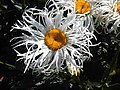 1 - Leucanthemum sp. 3.jpg