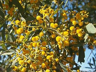 Acacia hemignosta - Acacia hemignosta flowers