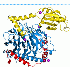 G protein - Phosducin- transducin beta-gamma complex. Beta and gamma subunits of G-protein are shown by blue and red, respectively.