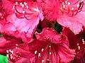 20050521095DR Kromlau (Gablenz-K) Rhododendronpark.jpg