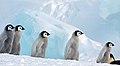 2007 Snow-Hill-Island Luyten-De-Hauwere-Emperor-Penguin-31.jpg