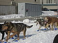 2008 Iditarod Anchorage (2311639521).jpg