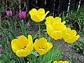 2011 Tulips 8 (5766763455).jpg