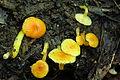 2012-08-10 Hygrocybe flavescens (Kauffman) Singer 247665.jpg