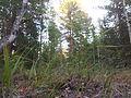 2012-08-18 Закат в лесу..jpg