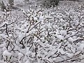 2014-06-17 09 10 14 Snow in June on immature Willow foliage at Roads End in Lamoille Canyon, Nevada.jpg