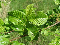 20140424Ulmus minor.jpg