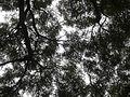 20141209 Trees in Ibirapuera Park 01.jpg