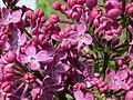 20150429Syringa vulgaris2.jpg