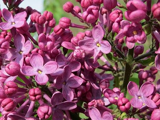 20150429Syringa vulgaris2