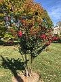 2016-10-26 13 29 06 Crape Myrtle blooming along Franklin Farm Road near Tranquility Lane in the Franklin Farm section of Oak Hill, Fairfax County, Virginia.jpg