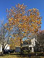 2016-11-18 12 22 11 American Sycamore displaying autumn foliage along Tranquility Lane in the Franklin Farm section of Oak Hill, Fairfax County, Virginia.jpg