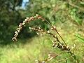 20160831Persicaria hydropiper3.jpg