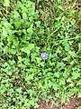 2017-09-18 10 34 01 Morning Glory flowering along Tranquility Court in the Franklin Farm section of Oak Hill, Fairfax County, Virginia.jpg