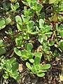 20170623Portulaca oleracea2.jpg