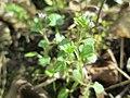 20180408Veronica hederifolia3.jpg