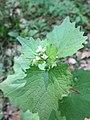 20180421Alliaria petiolata1.jpg