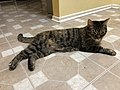 2019-12-02 23 58 51 A Tabby cat lying on the floor in the Franklin Farm section of Oak Hill, Fairfax County, Virginia.jpg