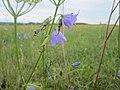 20190809Campanula rotundifolia2.jpg