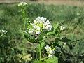 20200422Alliaria petiolata2.jpg