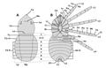 20201108 Trigonotarbida dorsal ventral morphology.png