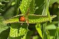 20210417 Coccinella septempunctata.jpg