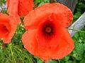 4960 - Mürren-Gimmelwald - Flowers.JPG