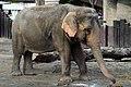 50 Jahre Knie's Kinderzoo - Elephas maximus 2012-10-03 15-38-15.JPG